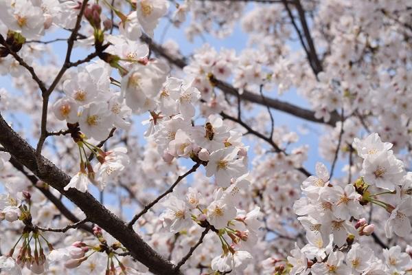 桜とミツバチ.JPG