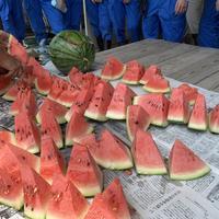 スイカの収穫(1年生食品科学科)