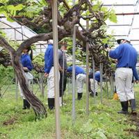 3年果樹 ブドウの管理実習