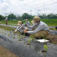 1年生スイートコーンの栽培管理